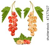 vector red and white currant.... | Shutterstock .eps vector #67177627