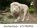 male white lion. the white... | Shutterstock . vector #671784904