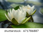Lovely Flowers White Nymphaea...