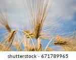 barley field  blur  close up of ...   Shutterstock . vector #671789965