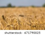 barley field  blur  close up of ...   Shutterstock . vector #671790025