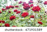 Stock photo rose water drops blooming rose bush after rain 671931589