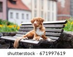 beautiful toller dog posing on... | Shutterstock . vector #671997619