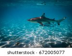 A black tip shark in the lagoon of bora bora with some friends