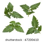 Tomato Leaves Isolated On A...