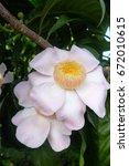 Small photo of Gustavia flower
