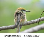 green bee eater sitting on tree ... | Shutterstock . vector #672013369