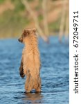 Small photo of Alaskan brown bear cub standing on its hind legs in Brooks River in Katmai National Park, Alaska