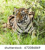 royal bengal tiger | Shutterstock . vector #672086869