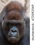 Small photo of Gorilla head, alpha male