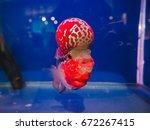 Flower Horn Cichlid Fish  Red...