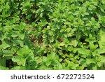 spearmint plant in the garden... | Shutterstock . vector #672272524