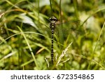 A Golden Ringed Dragonfly ...