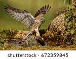 Common Kestrel Hunting Little...