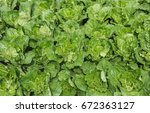 young chinese cabbage in the... | Shutterstock . vector #672363127