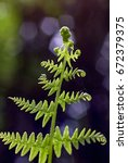 Small photo of Polypodiopsida bracken.
