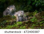 This Cute Baby Manul Was...