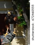 Small photo of Falcon falco with opened beak on hawker leather gauntlet with jingle bells on legs prepared to fly