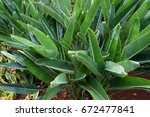 green leaves of decorative... | Shutterstock . vector #672477841