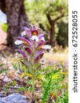 Small photo of beautiful violet acanthus flower in dry mainland