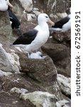 Small photo of New Island Falkland Island, Black-brow albatross with chick