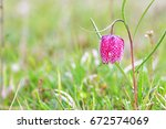 endangered wild chess flower on ...