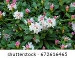 rhododendron  background with... | Shutterstock . vector #672616465