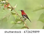 Small photo of Beautiful bird male Crimson Sunbird perched on branch in the exotic nature, Aethopyga siparaja