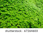 A Clover Of Field  Oxalis Sp. ...