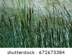Cat Tails Growing Beside The...