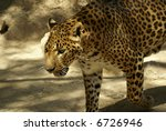 leopard looking for someone on  ... | Shutterstock . vector #6726946