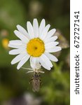 Small photo of Misumena vatia is a species of crab spider with holarctic distribution it is called the goldenrod crab spider or flower (crab) spider. Spider with its prey on white wildflower