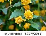 yellow flowers    Shutterstock . vector #672792061