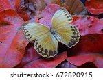 Butterfly   Stichoptalma Louis...