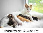 Stock photo cat feeding cute little kittens at home 672854329