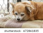 brown chihuahua dog | Shutterstock . vector #672861835