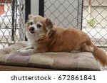 brown chihuahua dog | Shutterstock . vector #672861841