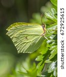 Small photo of Common brimstone butterfly (Gonepteryx rhamni)