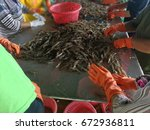 workers are sorting the size of ... | Shutterstock . vector #672936811
