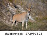 Young Female Eland Grounds...