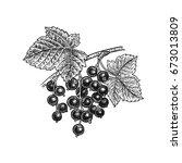 black currant berries....   Shutterstock .eps vector #673013809