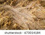 barley yield  ripe ears  top ... | Shutterstock . vector #673014184