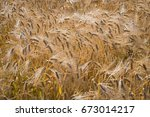 barley yield  ripe ears  top ... | Shutterstock . vector #673014217