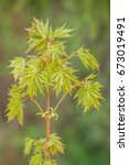 Small photo of Small Tree of Acicular Maple