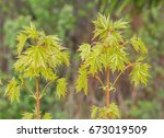 Small photo of Two small Trees of Acicular Maple