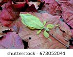 Small photo of Leaf insect , Phyllium bioculatum , green leaf insect on red autumn leaves , excotic , rare and protected