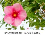 beautiful fresh pink hibiscus...   Shutterstock . vector #673141357
