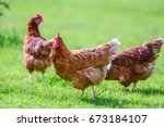 Hens On Traditional Free Range...
