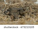 juvenile toad in long dry... | Shutterstock . vector #673213105
