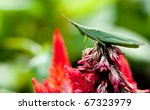 Green Grasshopper On The Red...